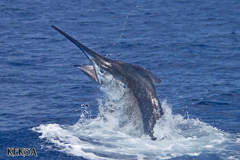 Cairns season weeks 3 lizard island black marlin classic for What saltwater fish are in season now
